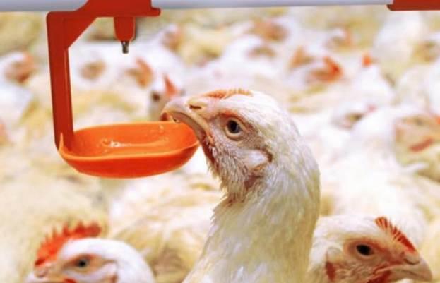 Схемы лечения домашней птицы препаратом АСД-2: дозировки и как давать